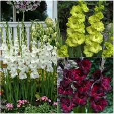 gladiolus flower bulbs black white mix