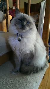 adopt a cat adopt a cat or kitten petsmart charities
