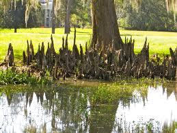 Make Cypress Knee Lamps by Louisiana U0027s Cypress Trees Wood Eternal Gallivance