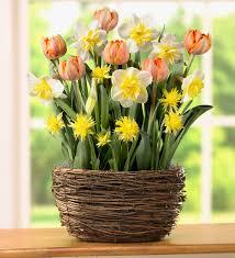 narcissus tulip flower bulb gift garden this orange yellow