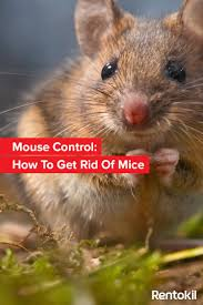 42 Best Yuck! Images On Pinterest | Rodents, Pest Control And Rats Details Amazoncom Bonazza Mice Repellent Plugin Ultrasonic Pest The Battle Of And Men Pparedness Pro How To Get Rid Of Permanently Without Professional Help Youtube Control 1 Resource For Horse Farms Stables Riding Rats In Your Barns Stall13com Videos To Naturally Natural Rat Guide 5 Easy Steps Helpful Hints Pinterest Chicken Chick 15 Tips Rodents Around Coops Just One Bite Ii Bars And Killer8lbs8 16 Oz Bars Pet Coats Hairless Rex Harley Uerstanding Fancy Keep Other Out Your Car Engine