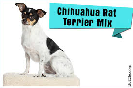 Big Dogs That Dont Shed Bad by The Good And Not So Good Traits Of Chihuahua Terrier Mix Breeds