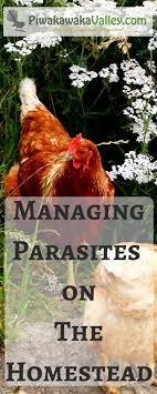 How To Control Revolting Parasites With Effective Natural Remedies ... Why Should You Compost Chicken Manure Is Naturally High In 1105 Best Backyard Project Images On Pinterest Raising Baby Chick Playground Coops Pet Chickens And Worming Backyard Controversial Here Are Tips How To Naturally Treat Coccidiosis Your Chickens Natural Treatment Of Vent Prolapse Ducks 61 To Me Raising Means Addressing Healthkeeping Deworming Homesteads