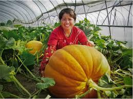 Atlantic Giant Pumpkin Taste by Super Big Pumpkin Seeds Giant Pumpkin Seeds Vegetable Seeds 20