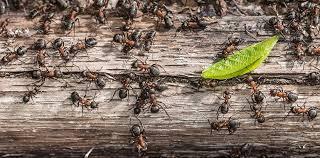 was hilft gegen ameisen im haus tipps hausmittel herold at
