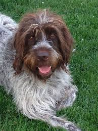 German Wirehaired Pointer Shedding by 82 Best Wirehaired Pointing Griffon Images On Pinterest