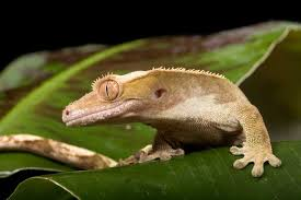 Crested Gecko Shedding Signs by All About Crested Geckos Petopedia