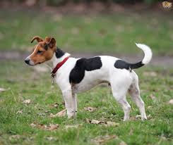 Dogs That Shed The Least Amount by Jack Russell Dog Breed Information Buying Advice Photos And