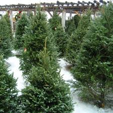 Types Christmas Trees Most Fragrant by Vail Christmas Trees Colorado Alpines U0026 Wildflower Farm