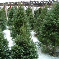 Types Of Christmas Trees Canada by Vail Christmas Trees Colorado Alpines U0026 Wildflower Farm