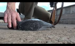 Feral Pigeon Control - YouTube 100 How To Get Rid Of Pigeons On My Roof The Loft Design Dave Keep Birds Out Birdbgone Blog 4 Ways To Of Starlings Wikihow Dairy Barns Birdfree With 3 Tips Avian Control 25 Unique Pigeon Repellent Ideas On Pinterest Obama Care Dealing Barn Farmtek Panting In Racing When Is It Normal And Not Air Rifle Hunting 6 Shooting Pigeons Pest Control Youtube Fat Cuuute Eye Spy Bird Animal Selective Breeding Deterrents Why Uv Light May Be The Answer B