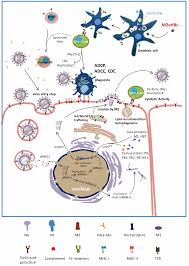 Asymptomatic Viral Shedding Influenza by Vaccines Free Full Text M2e Based Universal Influenza A