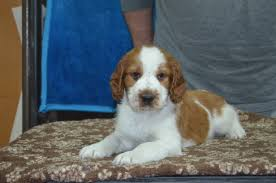 Welsh Springer Spaniel Shedding by Puppies Chenil Belcanto Kennel Chenil Belcanto Kennel