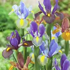 cheap iris bulbs cheap find iris bulbs cheap deals on line at