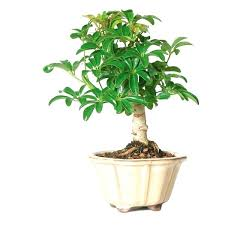Umbrella Plant Outdoors Tree A Liked On Featuring Home Patio Umbrellas Outdoor