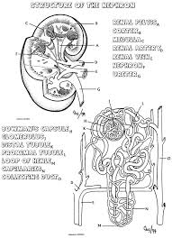 Kidney Coloring That Explains How The Nephron Works