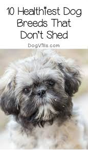 Best Dog Breeds That Dont Shed by 10 Healthiest Dog Breeds That Don U0027t Shed Dogvills