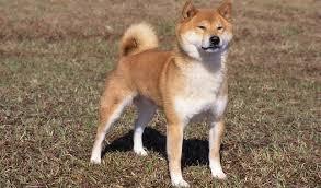 shiba inu breed information