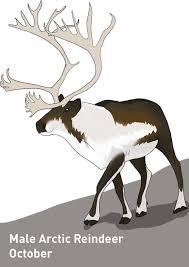 Deer Antler Shedding Cycle by Strange Biology U2022 This Is The Cycle Of Reindeer Rangifer