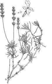 Lavender Flower Pure Essential Oil Lavandula Coloring Pages