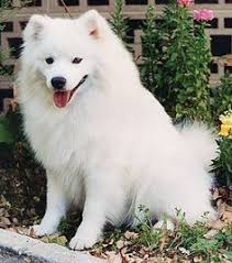 Toy American Eskimo Dog Shedding by American Eskimo Top 9 Things You Didn U0027t Care To Know American