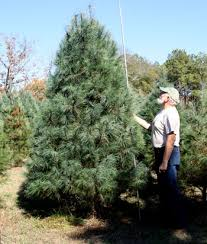 Christmas Tree 10ft by Hilltop Christmas Tree Farm Tall Trees
