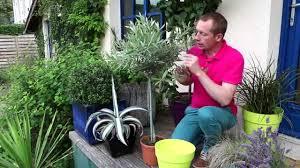 comment planter un olivier en pot
