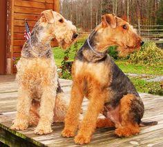 Airedale Terrier Non Shedding by Beautiful Airedales Are So Versatile Hunt Hike Protect Loyalty
