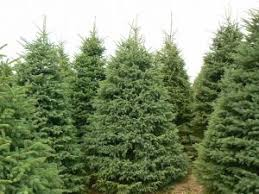 Fraser Fir Christmas Trees Delivered by Christmas Trees Fraser Fir Christmas Trees Jasper Ga