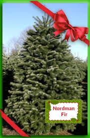 Nordmann Fir Christmas Tree Seedlings by Nordmann Fir Ricks Christmas Trees
