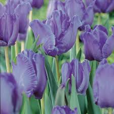 buy parrot tulip bulbs tulipa blue parrot delivery by crocus