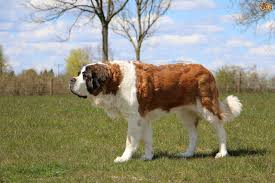 Big Dogs That Dont Shed Badly by Saint Bernard Dog Breed Information Buying Advice Photos And