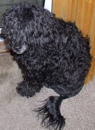 Portuguese Water Dog Non Shedding by Water Dog