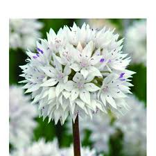 bulbs allium graceful bulbs for sale mail order