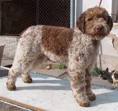 No Shed Dogs Illinois by Lagotto Romagnolo Wikipedia