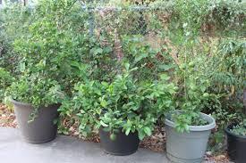 growing citrus trees in pots gardens