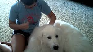 do great pyrenees shed youtube