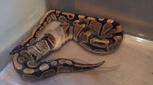 ball python shed one piece youtube