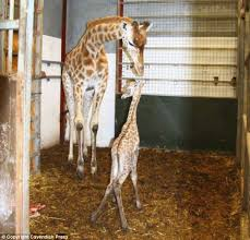 The New Baby Giraffe With Her Mother Elouise She Is First Of Species