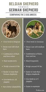 difference between belgian and german shepherd comparison of