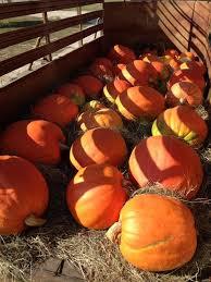 Pumpkin Patch Auburn Al by Pumpkin Patches In Auburn Alabama
