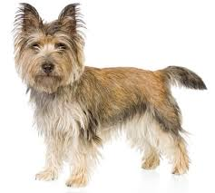 cairn terrier shed hair cairn terrier information facts pictures and grooming