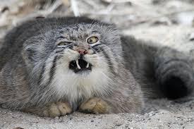 mountain cat small cat dump album on imgur