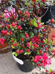 azalée japonaise en pot photo de fleur une pensee fleuriste