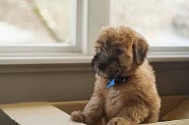 7 things you didn t know about the wheaten terrier iheartdogs com