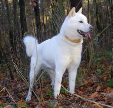 Do Akita Dogs Shed Hair by 9 Popular Japanese Dog Breeds Care Com Community