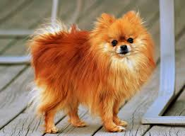Small Dogs That Dont Shed Hair by Pomeranian Dog Breed Information Pictures U0026 More