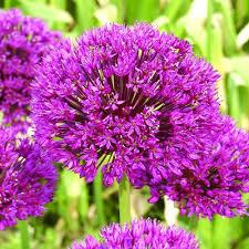 allium purple sensation bulbs x10 co uk garden outdoors