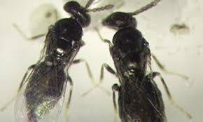 kleine schwarze mücken trauermücken weiße fliege