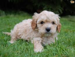 Dogs That Dont Shed A Lot by Cavapoo Dog Breed Information Buying Advice Photos And Facts